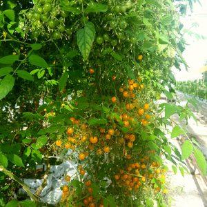 Kleine tomaatjes als besjes tomberry's